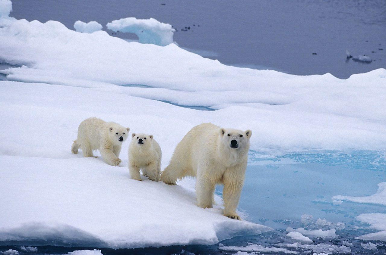 ¿Podrían los osos polares estar extintos para 2100?